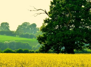 """Rape Seed Field"" by Les Haines"