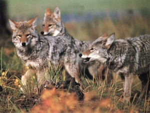 Coyotes_040-Pack_of_three-Moving